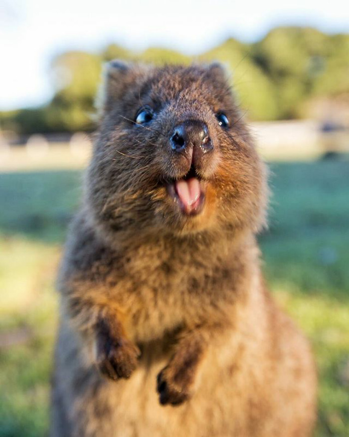 Quokkas - Melting Hearts Since Forever