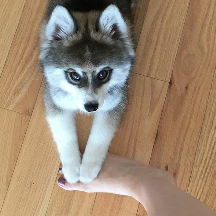 Norman The Pomsky