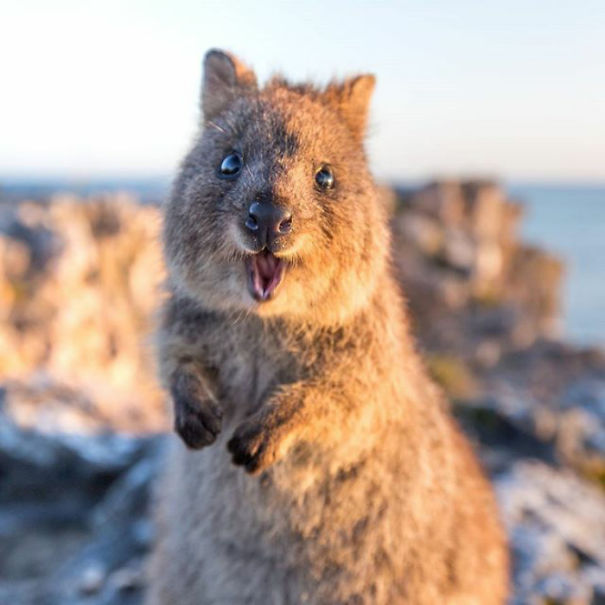 quokkas are the happiest animals in the world bored panda