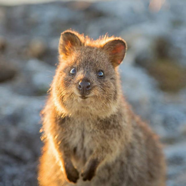 quokkas are the happiest animals in the world memeanimalcom