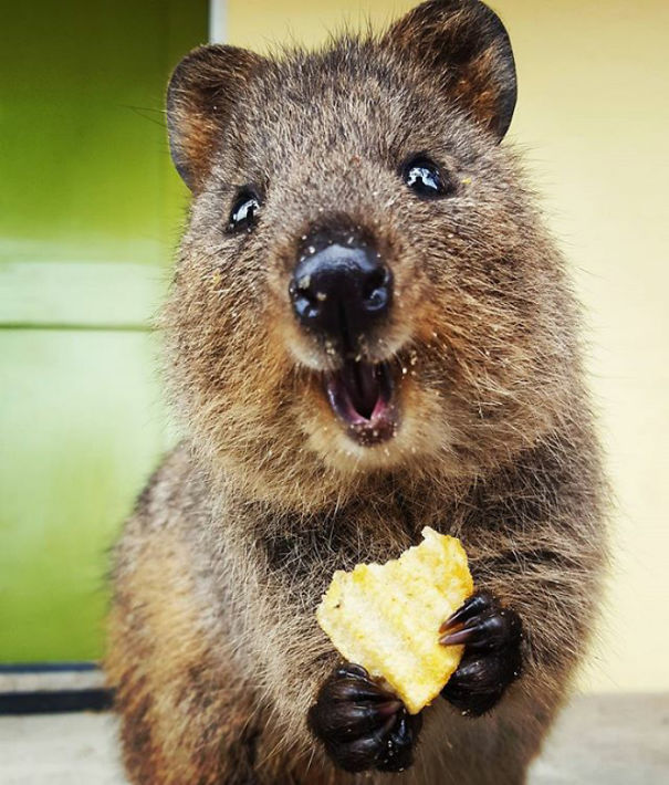 quokka quokkas animal animals smiling happiest messy funny happy eater smile marsupial australian australia chip cutest them essay sorry questions