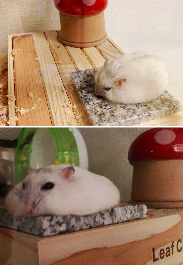 Hamster Cooling Down In Summer