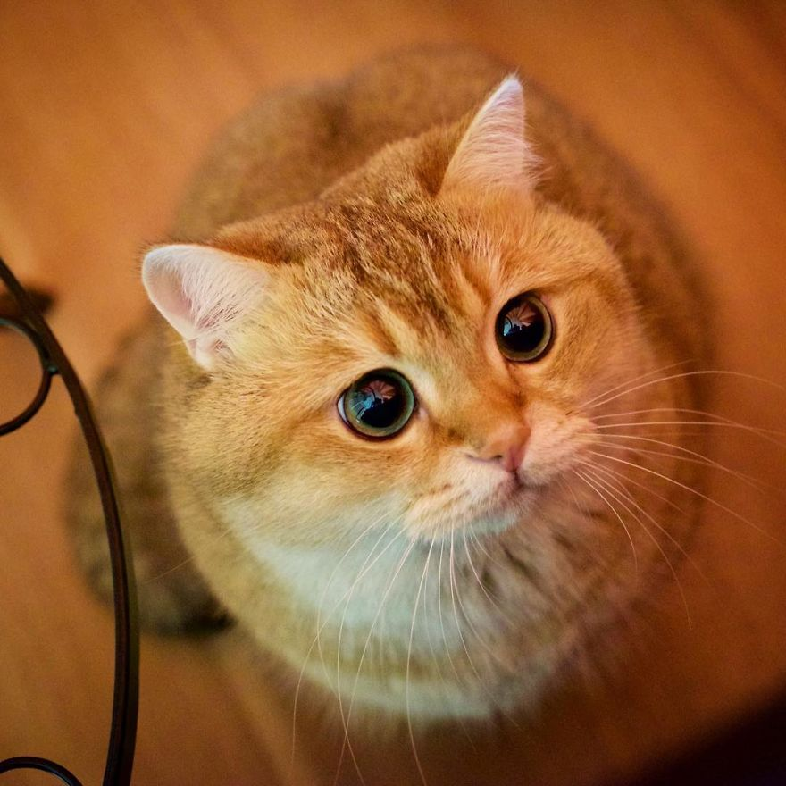 Meet Hosico Real Life Puss In Boots Bored Panda