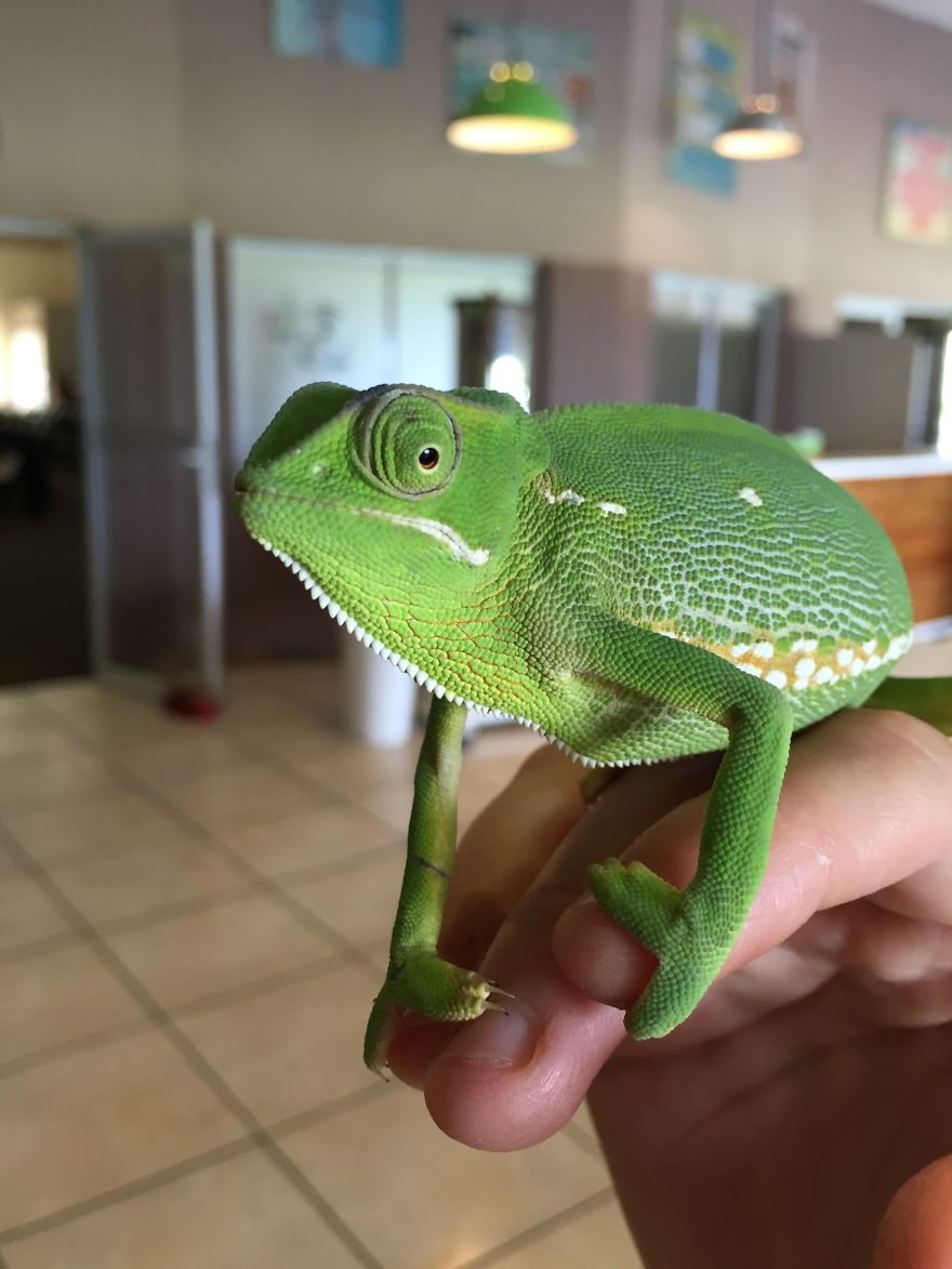 Chameleon. What A Privilege - They Are So Few These Days!