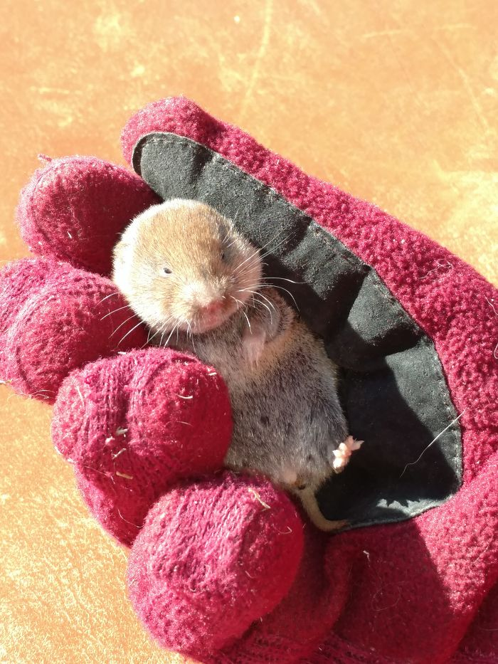 Saved This Little Vole From A Cat.