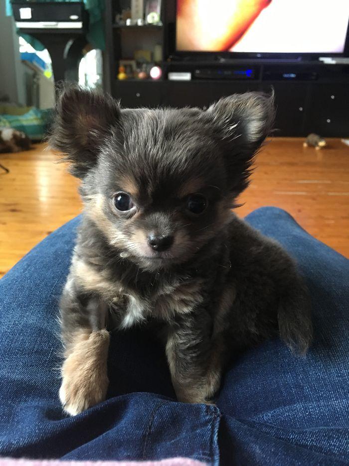 Little Chihuahua Bear