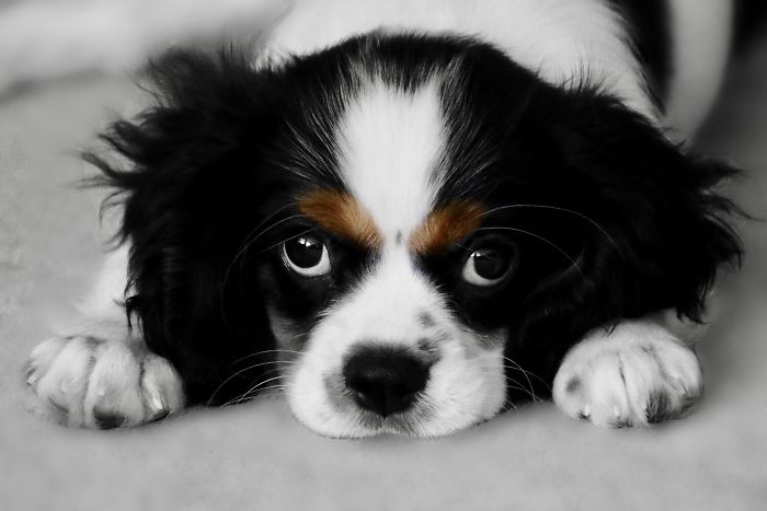 My Cavalier King Charles Roger – 3 Months Old