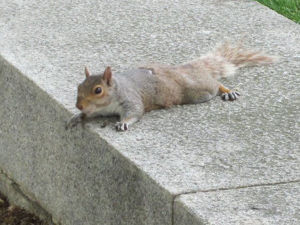 Too Hot To Move . . . Squirrel Melting On The Sidewalk