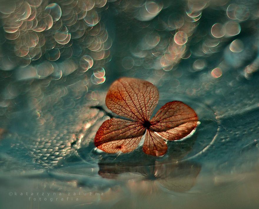 Hydrangea And Bokeh