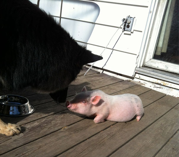 My Piglet Dexter Meeting My German Shepard For The First Time