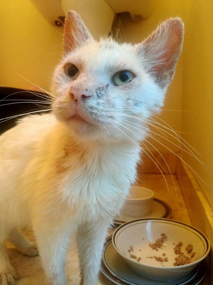 blind-rescue-cat-mange-different-color-eyes-cotton-10