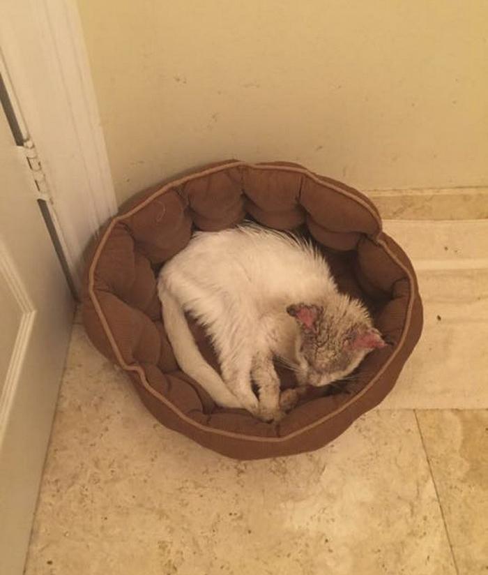 blind-rescue-cat-mange-different-color-eyes-cotton-2