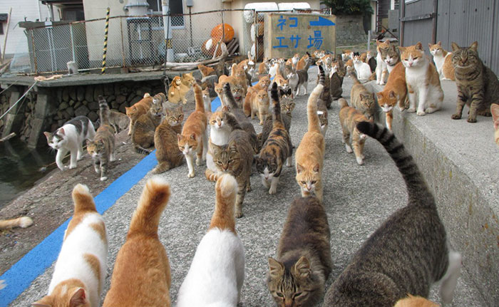 It's Quite Hard To Stand Out. Cat Island, Japan
