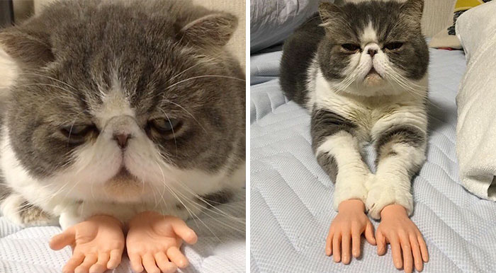 This Cat With Prosthetic Human Hands Is Going Viral