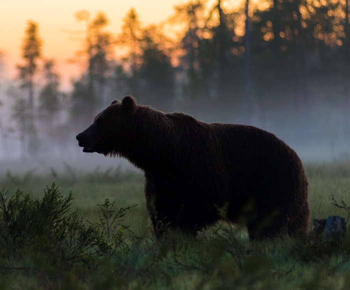 I Waited 15 Hours A Day To Find The Biggest Bear In Finland
