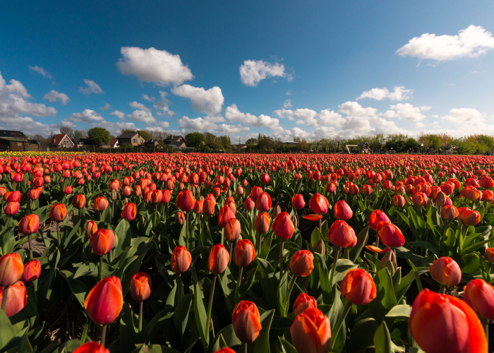 I Photographed The Endless Dutch Tulip Fields
