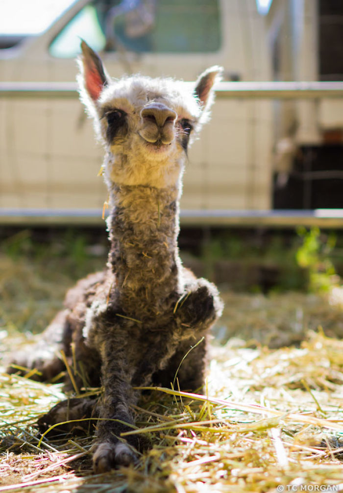 10+ Alpacas That Will Make Your Monday - Find trending ...