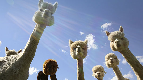 Alpaca-Band Is Dropping A New Album