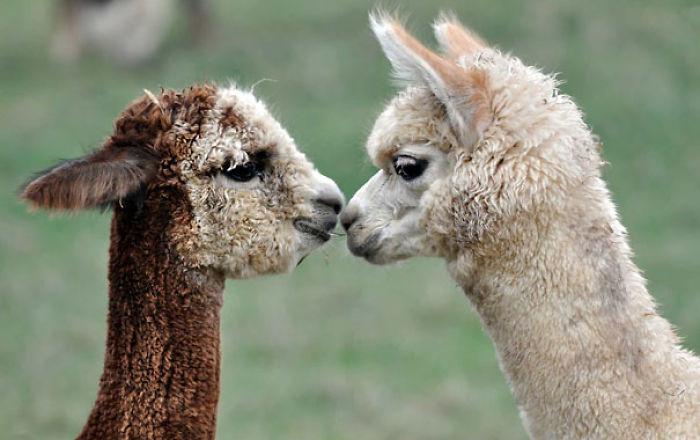 Two Little Alpacas