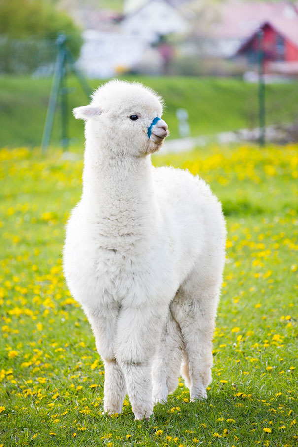 10+ Alpacas That Will Make Your Day | Bored Panda