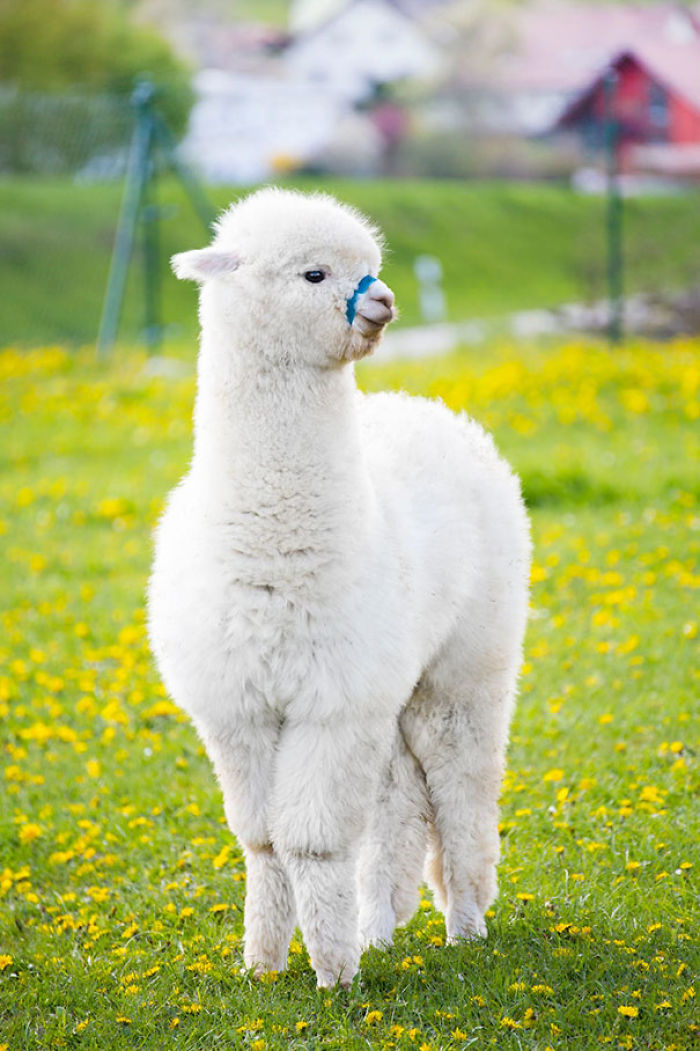 10 Alpacas That Will Make You Smile Fullact Trending Stories With The Laugh Mixture