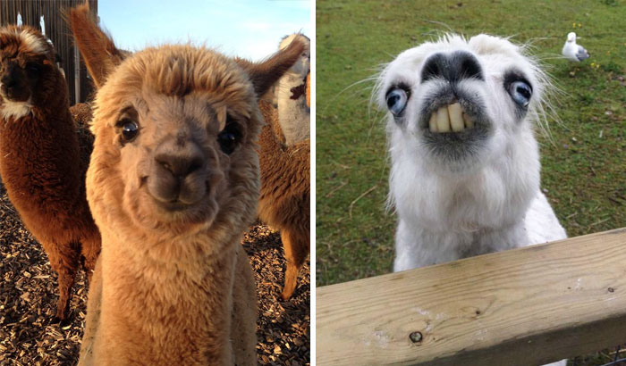 10+ Alpacas That Will Make Your Day