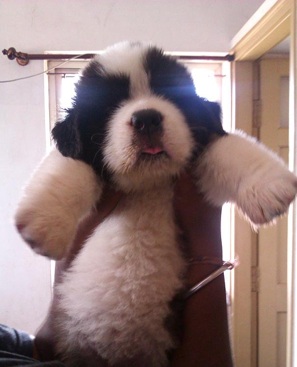 St. Bernard Puppy, Anyone?