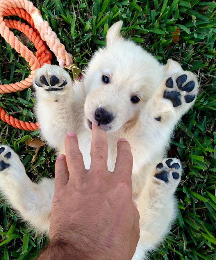 Not Sure If My Friend Got A Puppy Or A Baby Polar Bear