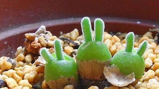 Japanese Are Going Crazy About These Bunny Succulents