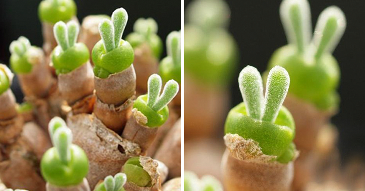 Japanese Are Going Crazy About These Bunny Succulents Bored Panda - Japan is going mad over these tiny succulents that look like bunny ears