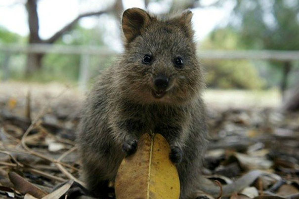 quokka smiling - photo #25