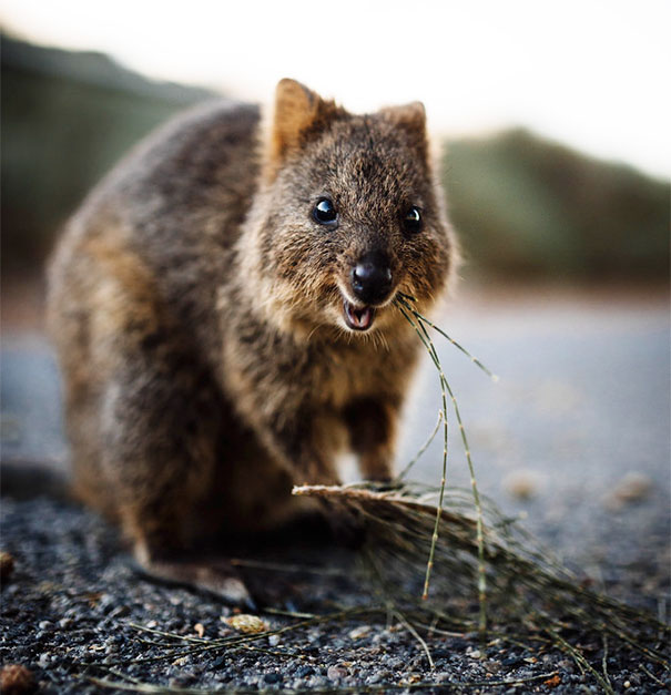 quokka smiling - photo #18