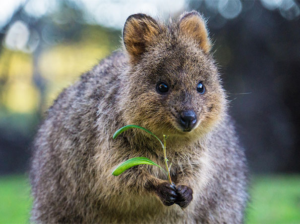 quokka smiling - photo #15
