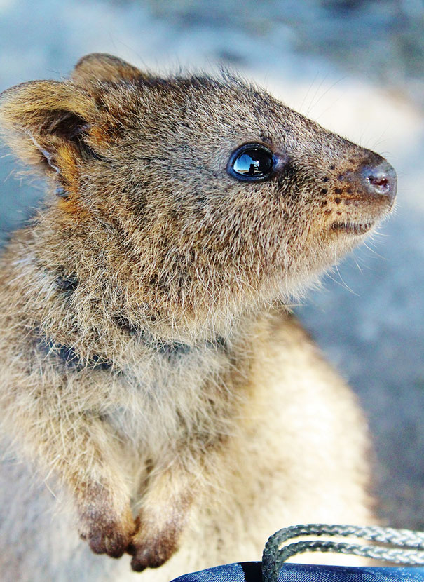 quokka smiling - photo #6