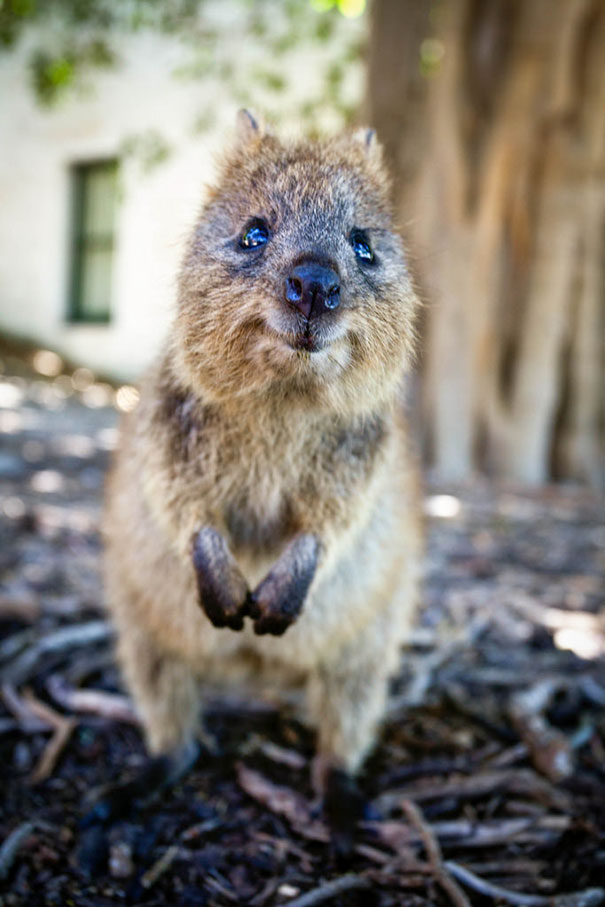 quokka smiling - photo #17