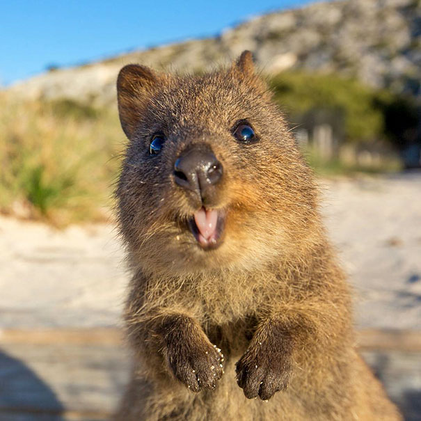 quokka smiling - photo #7