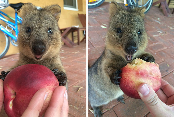 https://static.boredpanda.com/blog/wp-content/uploads/2017/03/cute-smiling-happy-quokkas-18-58c8f4a32f3a7__605.jpg