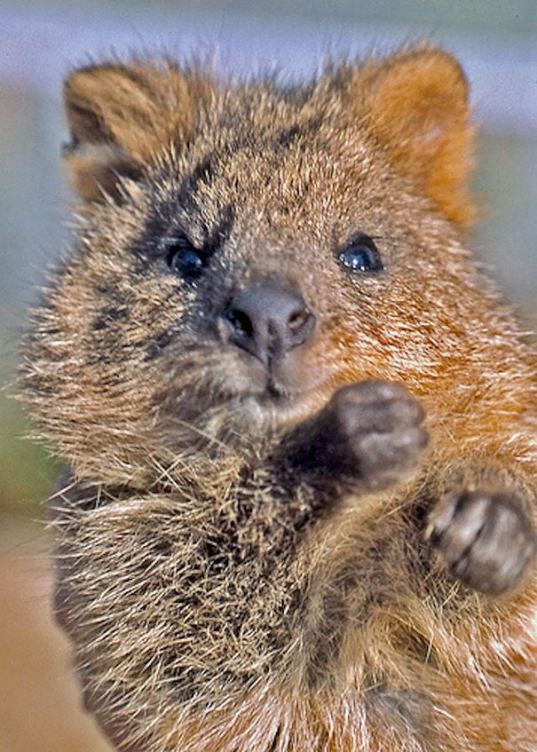 Quokkas Are The Happiest Animals In The World | Bored Panda