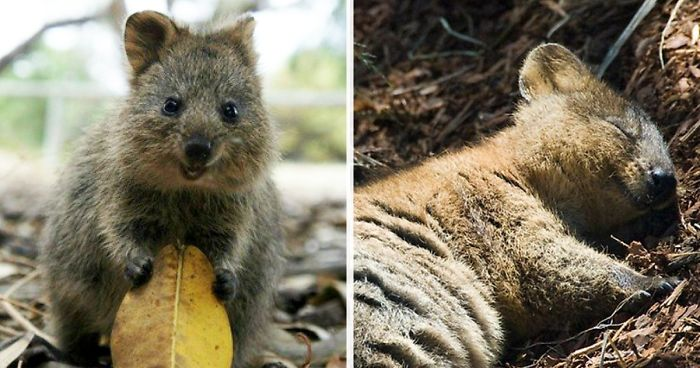 20+ Happy Quokkas That Are Impossible Not To Smile At ...