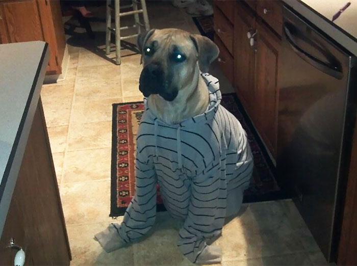 My Boerboel Mastiff Hates His Adorable Hoody