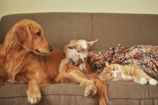 This Dog Thinks She Is The Mother Of These Baby Goats Can