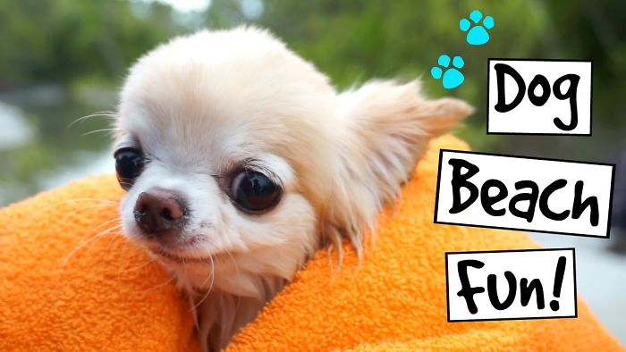 Cute Puppy Sized Chihuahua Swimming