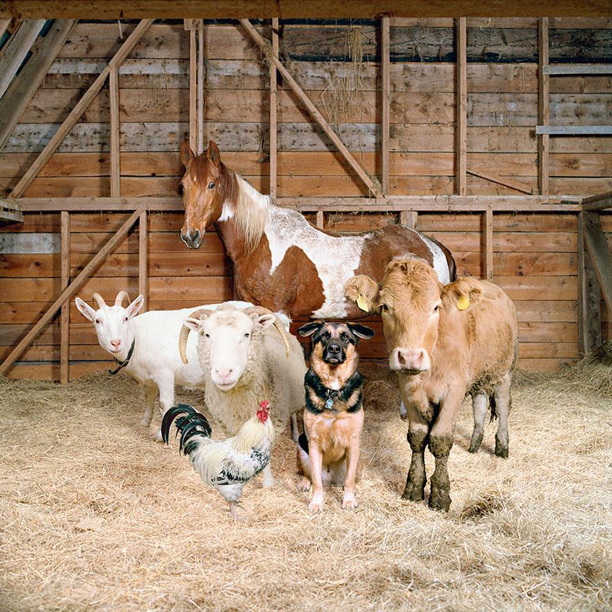 farm-animal-portraits-rob-macinnis-1