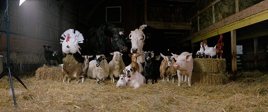 farm-animal-portraits-rob-macinnis-18