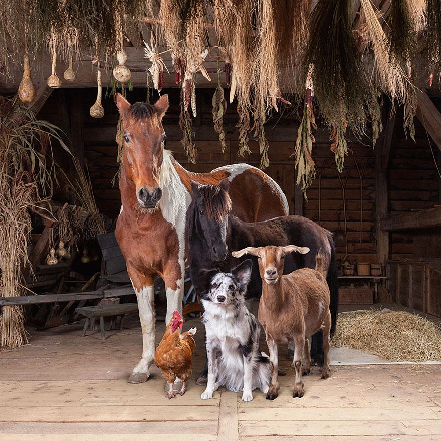 farm-animal-portraits-rob-macinnis-20