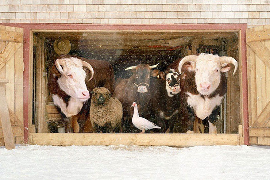 farm-animal-portraits-rob-macinnis-21