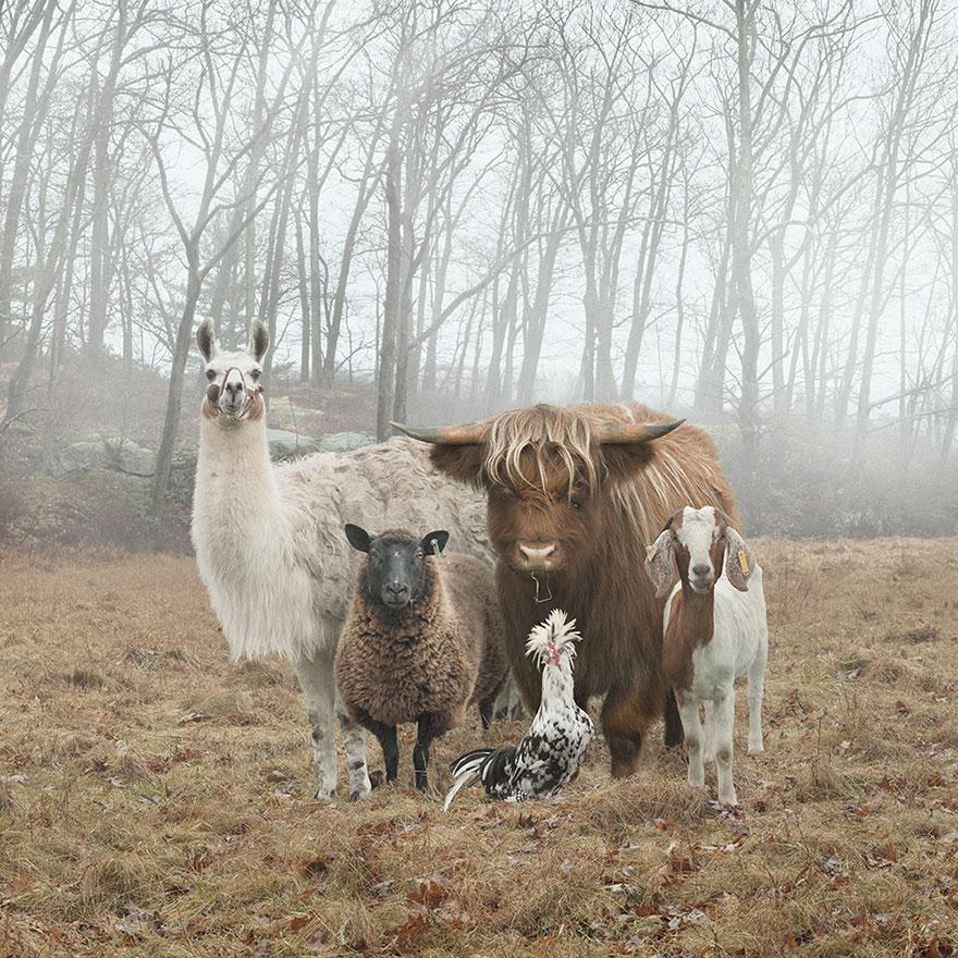 farm-animal-portraits-rob-macinnis-22