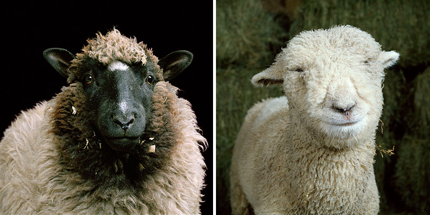 farm-animal-portraits-rob-macinnis-24