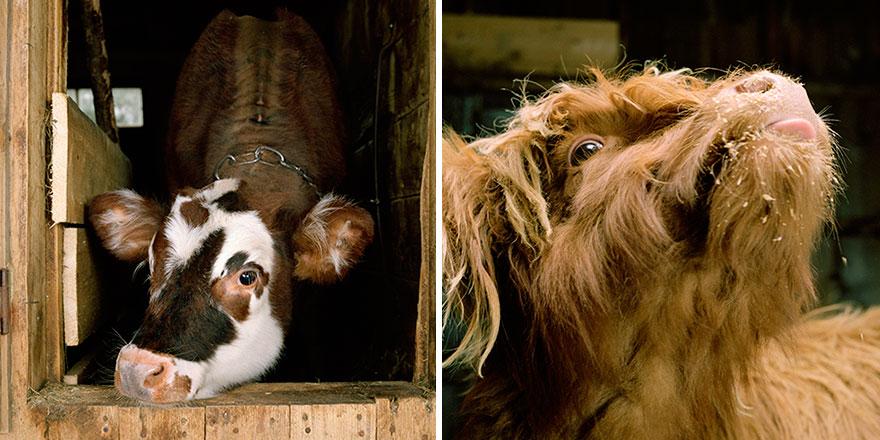 farm-animal-portraits-rob-macinnis-25