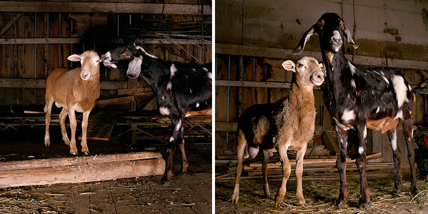 farm-animal-portraits-rob-macinnis-29
